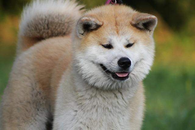Smiling Akita