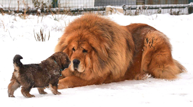 Tibetan Mastiff and puppy